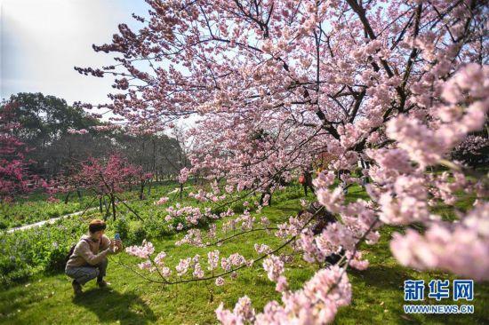 (社会)(3)武汉东湖樱花节开幕