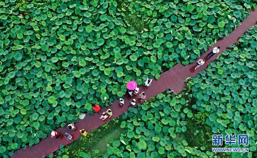 #(经济)(4)广西柳州:万亩荷塘迎客来